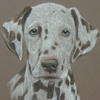 chocolate dalmation portrait