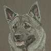 elkhound portrait