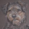 lakeland terrier portrait