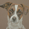 short haired jack russell portrait