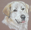 pyrenean mountain dog portrait