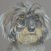 wire-haired daschund portrait