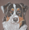 australian shepherd dog portrait