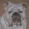english bulldog portrait
