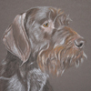 german wire-haired pointer portrait