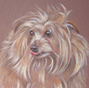 norfolk terrier portrait