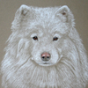 samoyed portrait