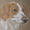 fox hound or trail hound portrait