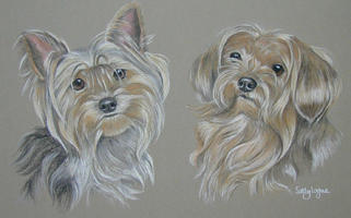 yorkshire terrier picture - portrait of Midge and Toby