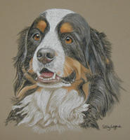 Bernese Mountain Dog Bosley