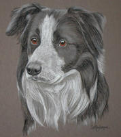 Border Collie _ Ted