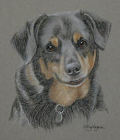 Collie Cross _ Barney