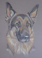 German Shepherd - Kublai