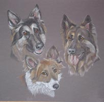 german shepherds and collie cross - Jade, Shearer and Jack
